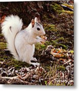 White Squirrel With Peanut Metal Print