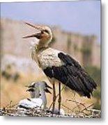 White Stork Ciconia Ciconia, Turkey Metal Print by Carson Ganci