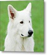 White Swiss Shepherd Dog Metal Print