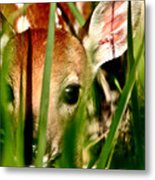 White Tailed Deer Fawn Hiding In Grass Metal Print