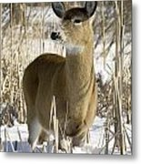 White-tailed Deer In A Snow-covered Metal Print