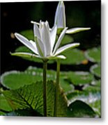 White Water Lily Metal Print by Lisa  Spencer