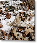 Whitetail Deer Antler  - Half Of 10 Metal Print