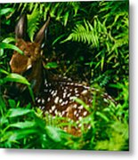 Whitetail Fawn And Ferns Metal Print