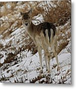 Whitetail Fawn In A Winter Meadow Metal Print