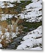 Whitetail Fawn In Winters Stream  Metal Print