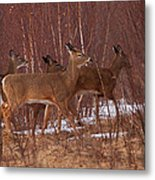 Whitetails On The Move Metal Print