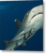 Whitetip Reef Shark, Kimbe Bay, Papua Metal Print