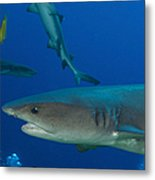 Whitetip Reef Shark, Papua New Guinea Metal Print by Steve Jones
