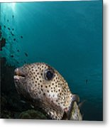 Wide-angle Image Of Pufferfish, Raja Metal Print