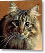 Wide-eyed Maine Coon Cat Metal Print