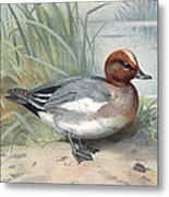 Widgeon, Historical Artwork Metal Print