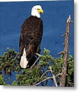 Wild Bald Eagle On Fir Tree Metal Print