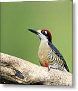Wild Black-cheeked Woodpecker Metal Print