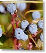Wild Blue Berries With Water Drops  Metal Print