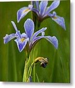 Wild Blue Flag Iris Metal Print