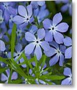 Wild Blue Phlox Flower 1 A Metal Print