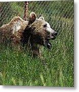 Wild Life Safari Bear Metal Print