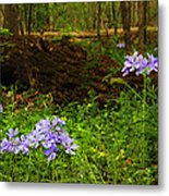 Wild Phlox In The Woodlands Metal Print