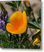 Wild Poppy And Lupine Metal Print