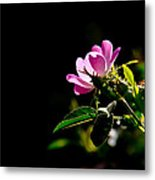 Wild Rose Along Galls Creek Metal Print