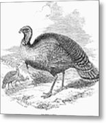 Wild Turkey, 1853 Metal Print