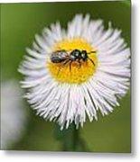 Wildflower Named Robin's Plantain Metal Print