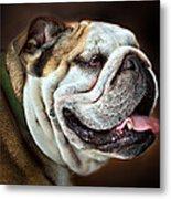 Willie Loves Me An English Bulldog Metal Print by Dorothy Walker