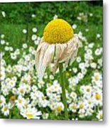 Wilted Daisy In The Garden Metal Print