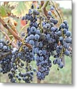 Wine Grapes In Provence Metal Print