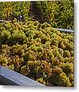 Wine Harvest Metal Print by Garry Gay
