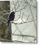 Winter Bluebird Metal Print