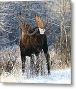 Winter Bull Metal Print