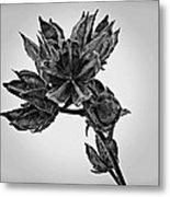 Winter Dormant Rose Of Sharon - Bw Metal Print