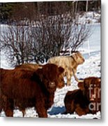 Winter Steer  Metal Print by The Kepharts