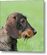 Wire-haired Dachshund Dog  Metal Print