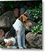 Wirehair Fox Terrier Metal Print