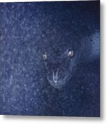 With Glowing Eyes, A Leopard Seal Peers Metal Print