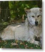 Wolf Metal Print