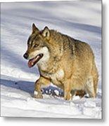 Wolf Canis Lupus Walking In Snow Metal Print