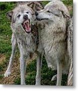Wolf Confab Metal Print