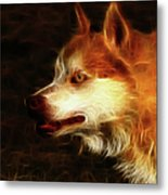Wolf Or Husky - First Place Win In 'angry Dog Contest' Metal Print