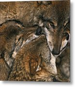 Wolf Pack Biting Each Others Muzzles Metal Print