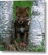 Wolf Pup Playing Peekaboo Metal Print