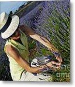 Woman Picking Up Lavender Flowers In Field Metal Print