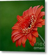 Wonder Of Nature Gerber Daisy Metal Print