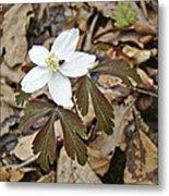 Wood Anemone - Anemone Quinquefolia Metal Print