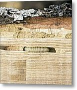 Wood-boring Insect Larva Metal Print by Jeremy Walker