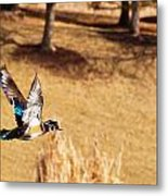 Wood Duck In Fflight Metal Print