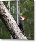 Woodpecker Sizes Me Up Metal Print